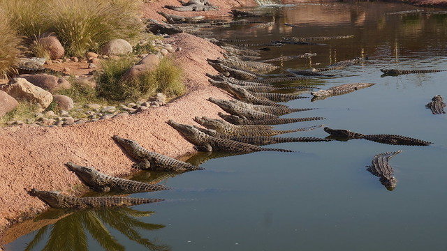 Crocodiles qui bronzent aux bords d'un plan d'eau