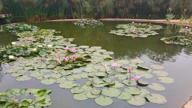 Nénuphars flottant dans un plan d'eau
